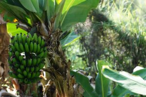 Lessons from a Plantain/ Banana Tree